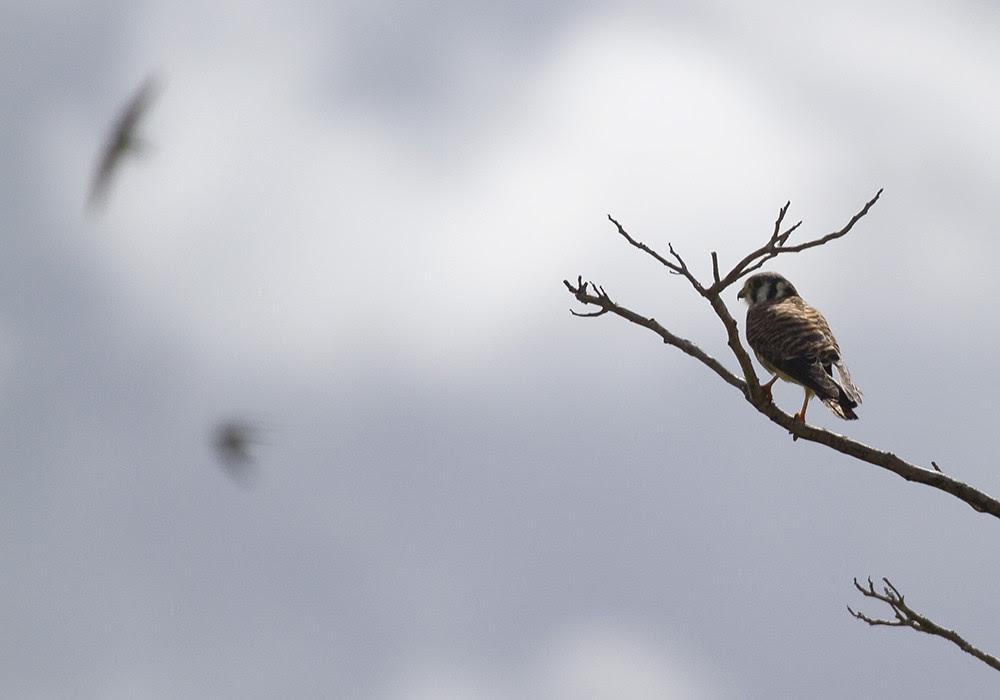 kestrel vs swallows