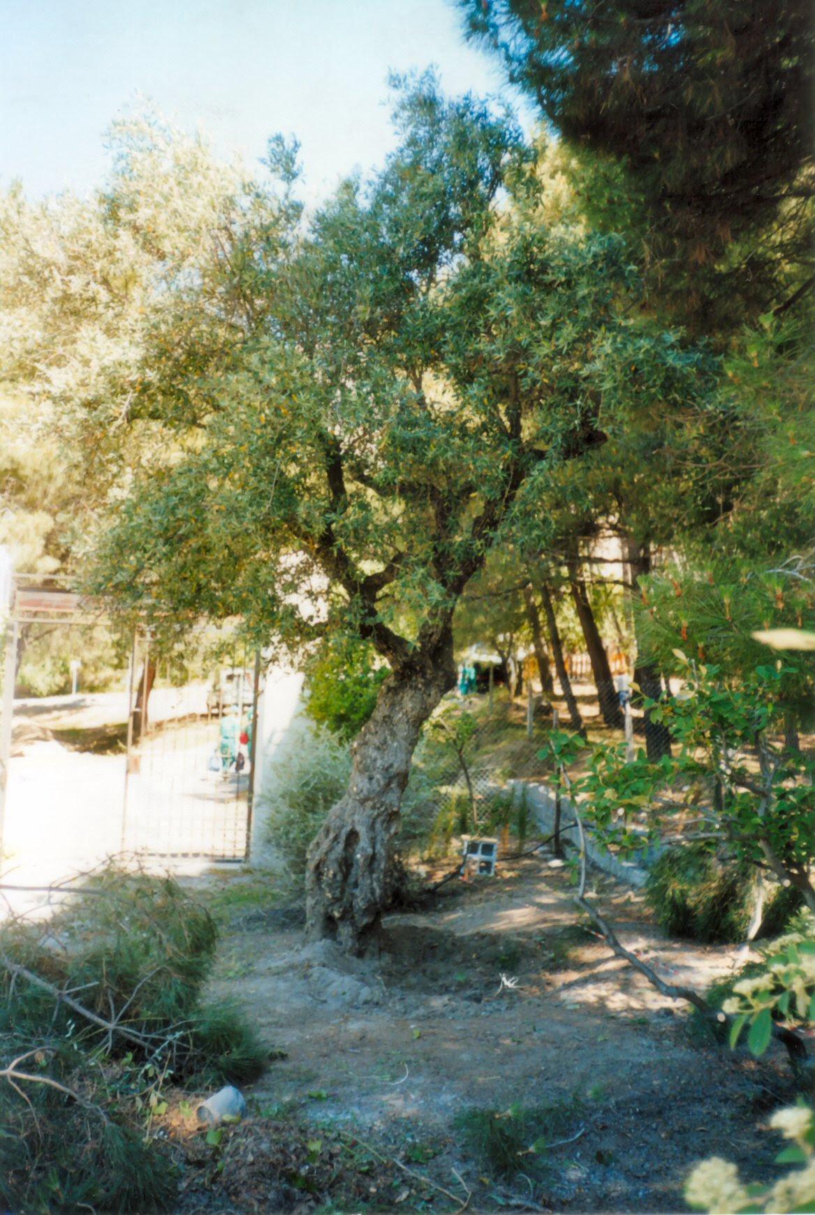 Lorca Olive Tree.jpg