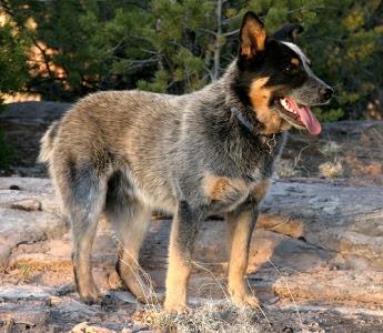 333120 As 10 raças de cães mais inteligentes 10 As 10 raças de cães mais inteligentes