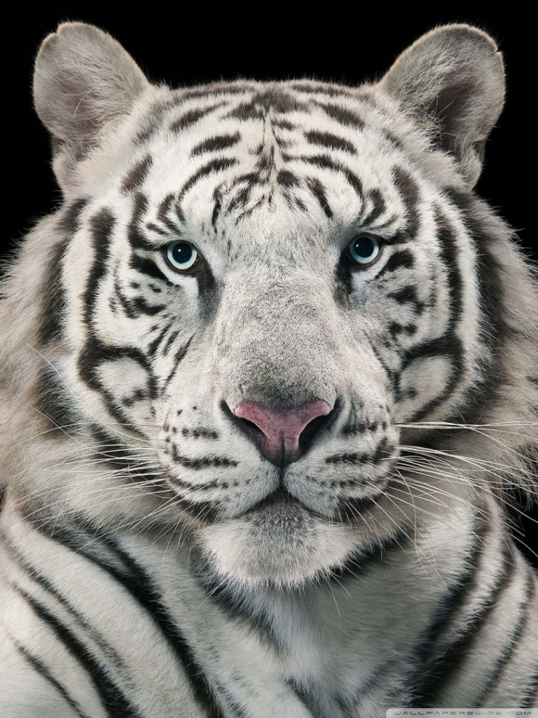 Trends For Ultra Hd White Tiger Hd Wallpaper Pictures