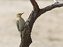 Gila Woodpecker, I-10 rest stop south of Phoenix.