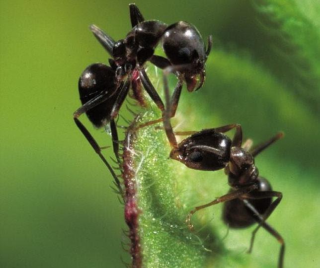 Los móviles dañan el cerebro de las hormigas, según un estudio