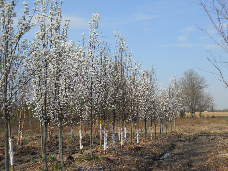 Cleveland Pear Trees For Sale In Indiana Hoosier Home Garden