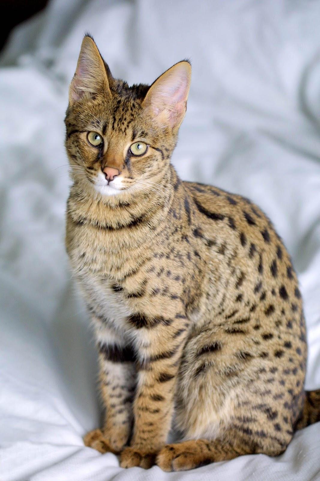 http://upload.wikimedia.org/wikipedia/commons/c/c4/Savannah_Cat_portrait.jpg