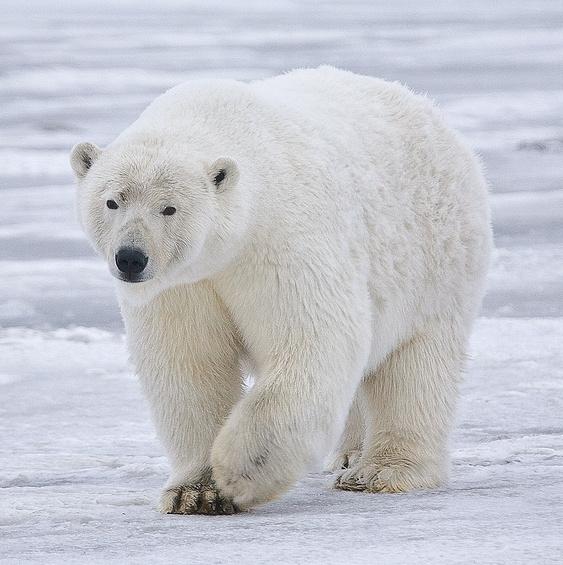 Polar bear - Wikipedia