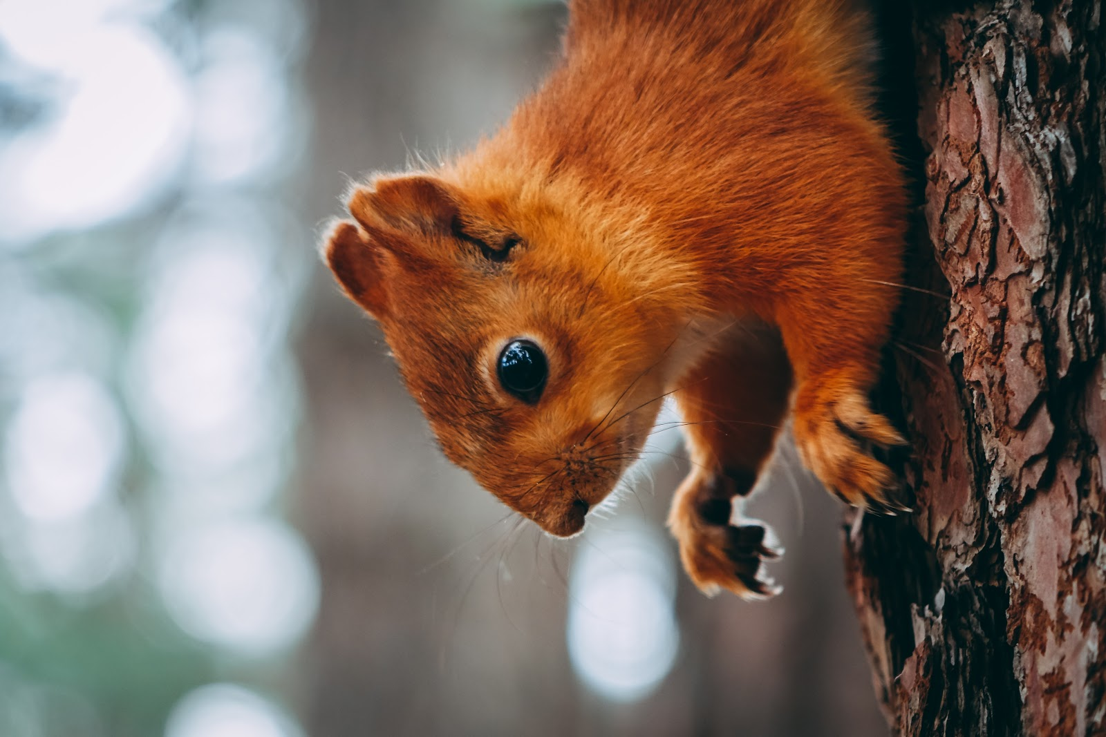 Red tree squirrel close-up with blurred background
