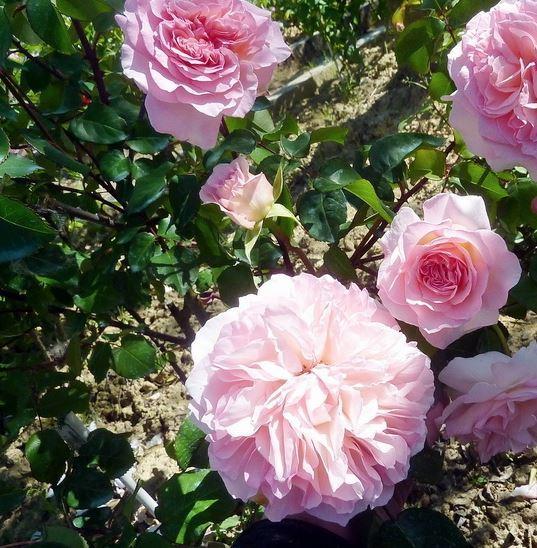 английская роза Admired Miranda