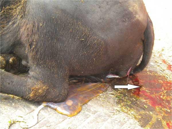 Expulsión de las membranas fetales y descarga de loquios en la búfala. Las flechas muestran la descarga de loquios sanguinolentos inmediatamente después del parto.