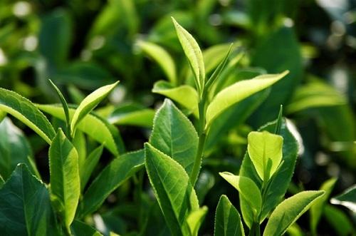 Công dụng của lá trà xanh