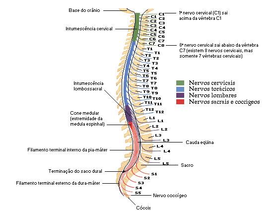 Relação das raízes dos nervos espinais com as vertebras
