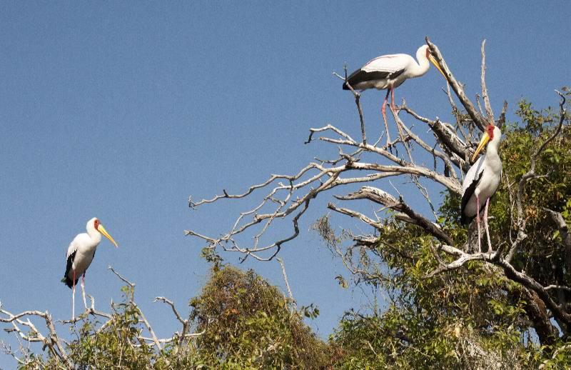 storks nesting, Chobe river, Botswana