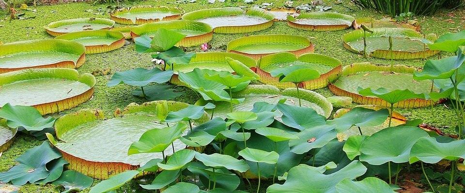 características de las plantas acuáticas