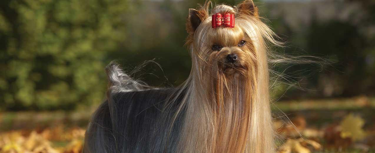 Собака йоркширський тер'єр з бантиком