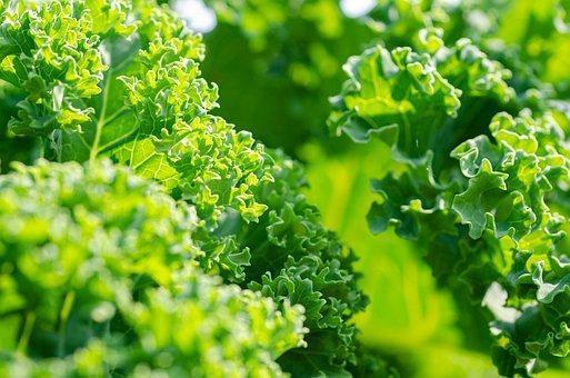 Kale, Vegetable, Garden, Healthy