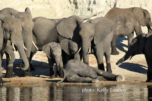 Elephants Without Borders » Blog Archive » Elephants mourn the loss of a  young bull