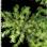 drymanegrass.png