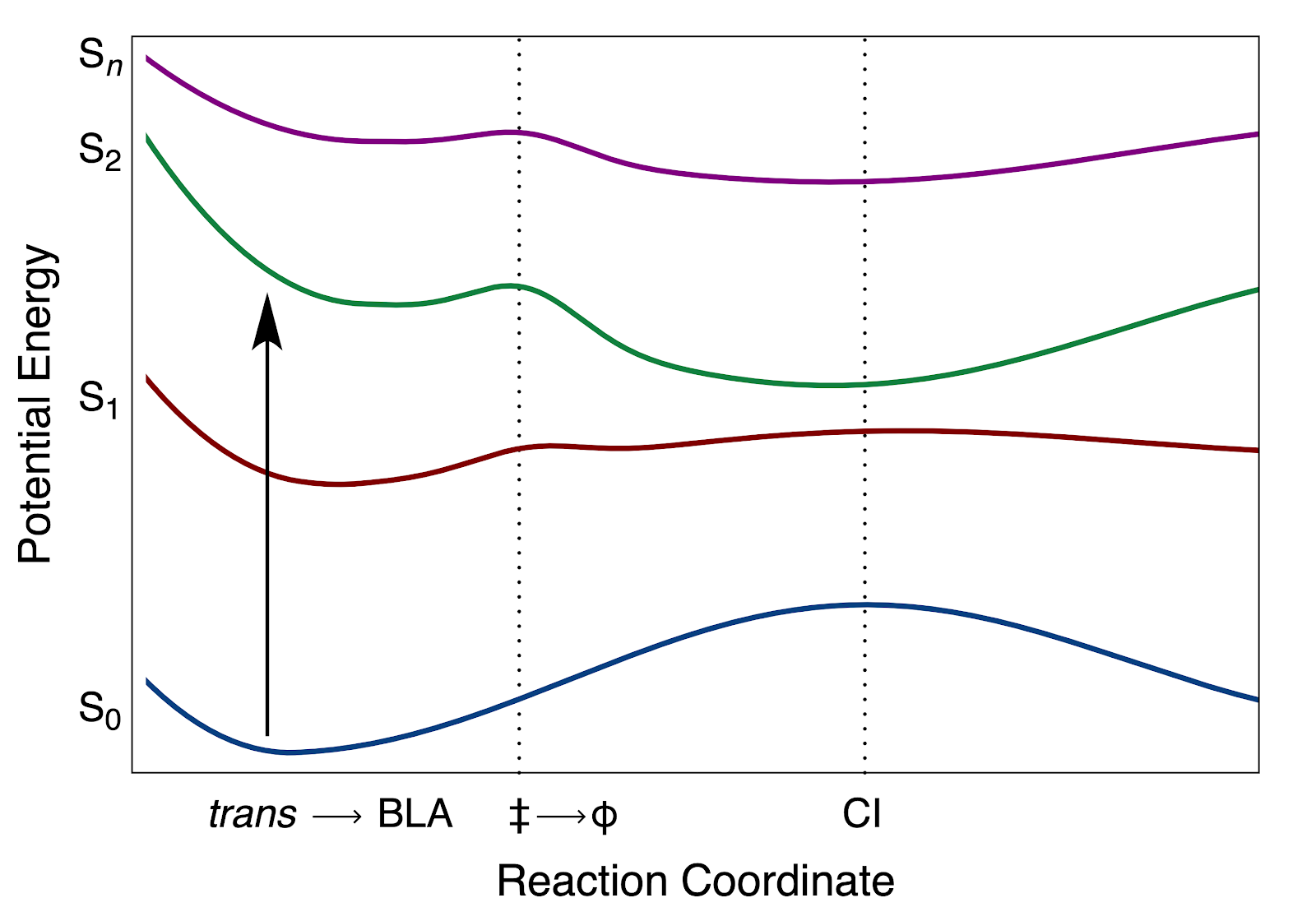 Model potential energy curves for carotenoids with respect to the motions that follow optical excitation to the second excited singlet state