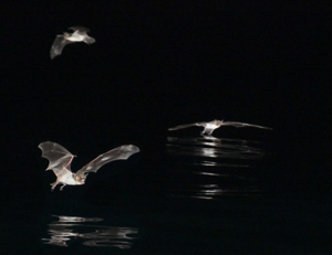 Three Mexican fish-eating bats hunting over the ocean at night. Photo: Glenn Thompson (Click image to download hi-res version.)