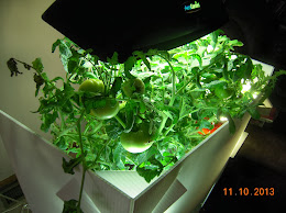 23 week tomato clone - picked one, two ripening, 7 on board, no BER - seems to like tap water / GH nutes combo