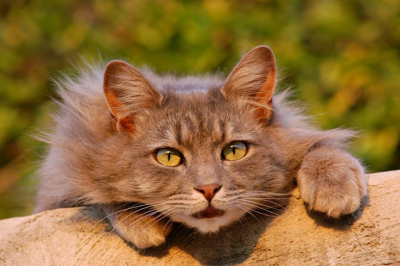 Gato Felino Peludo - Foto gratis en Pixabay