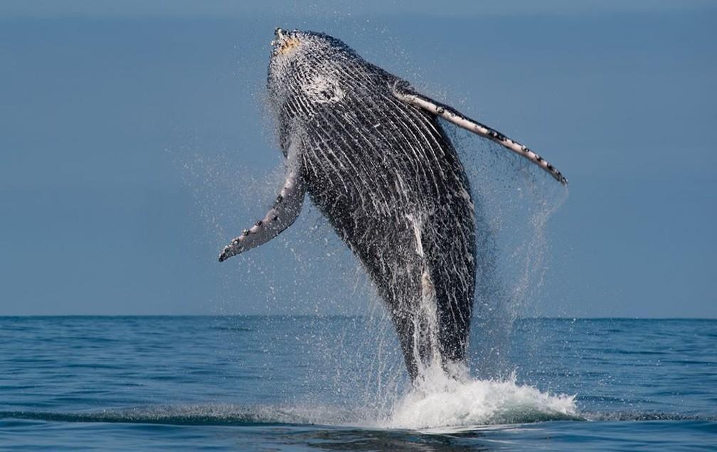 Pesquisadores avistam baleias jubartes em Ilhabela — Foto: Julio Cardoso/Projeto Baleia à Vista