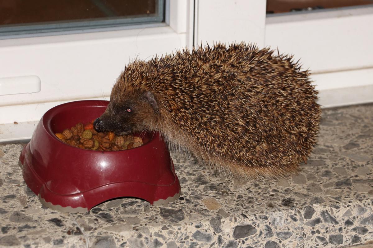 feeding hedgehogs