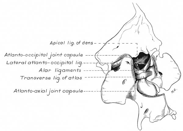 The ligaments of the occiput, atlas, and axis in a normal dog