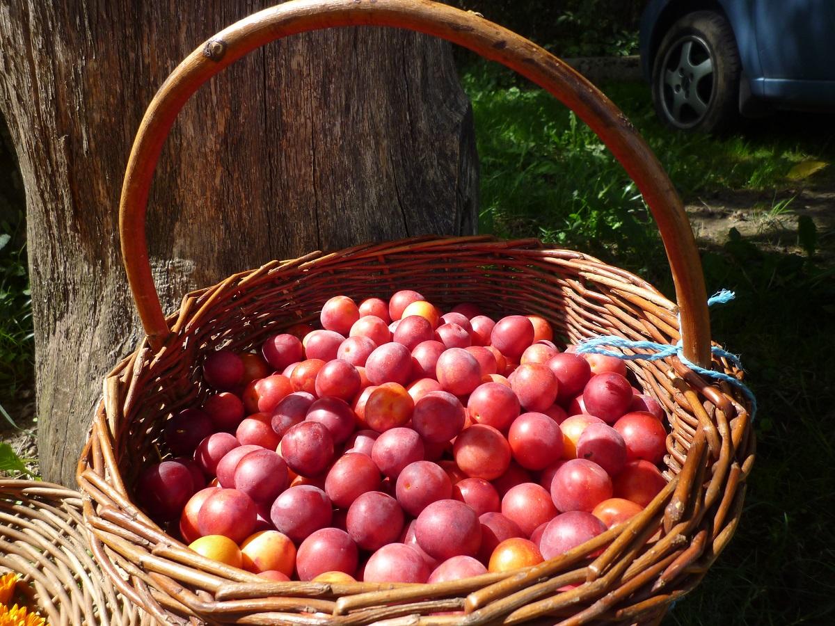 sběr ovoce na marmelády.jpg