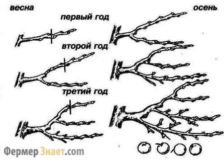 По мере роста дерева, меняется подход к обрезке.