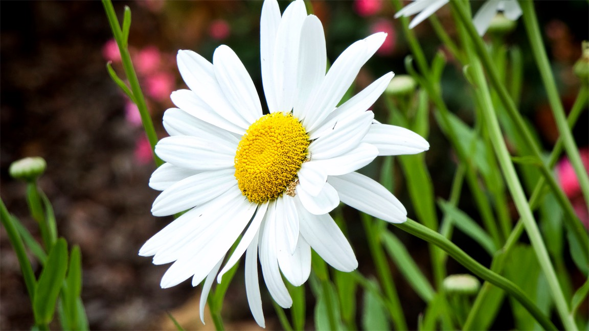 Manual Focus Daisy.jpg
