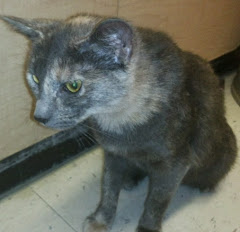 Shilog, nice dilute tortie