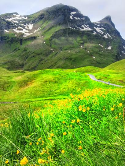 yellow wildflowers cover the Jungfrau region in Switzerland