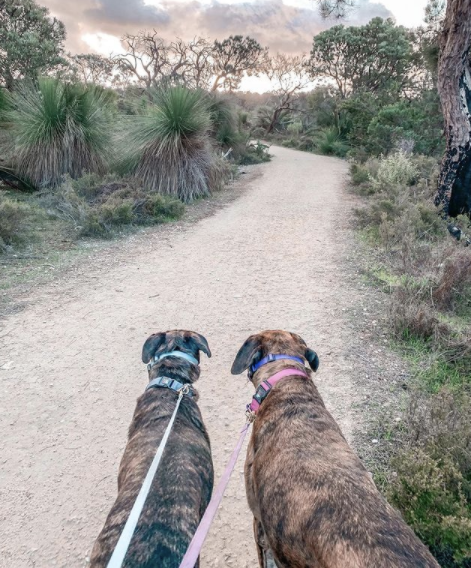 two big dogs being walked
