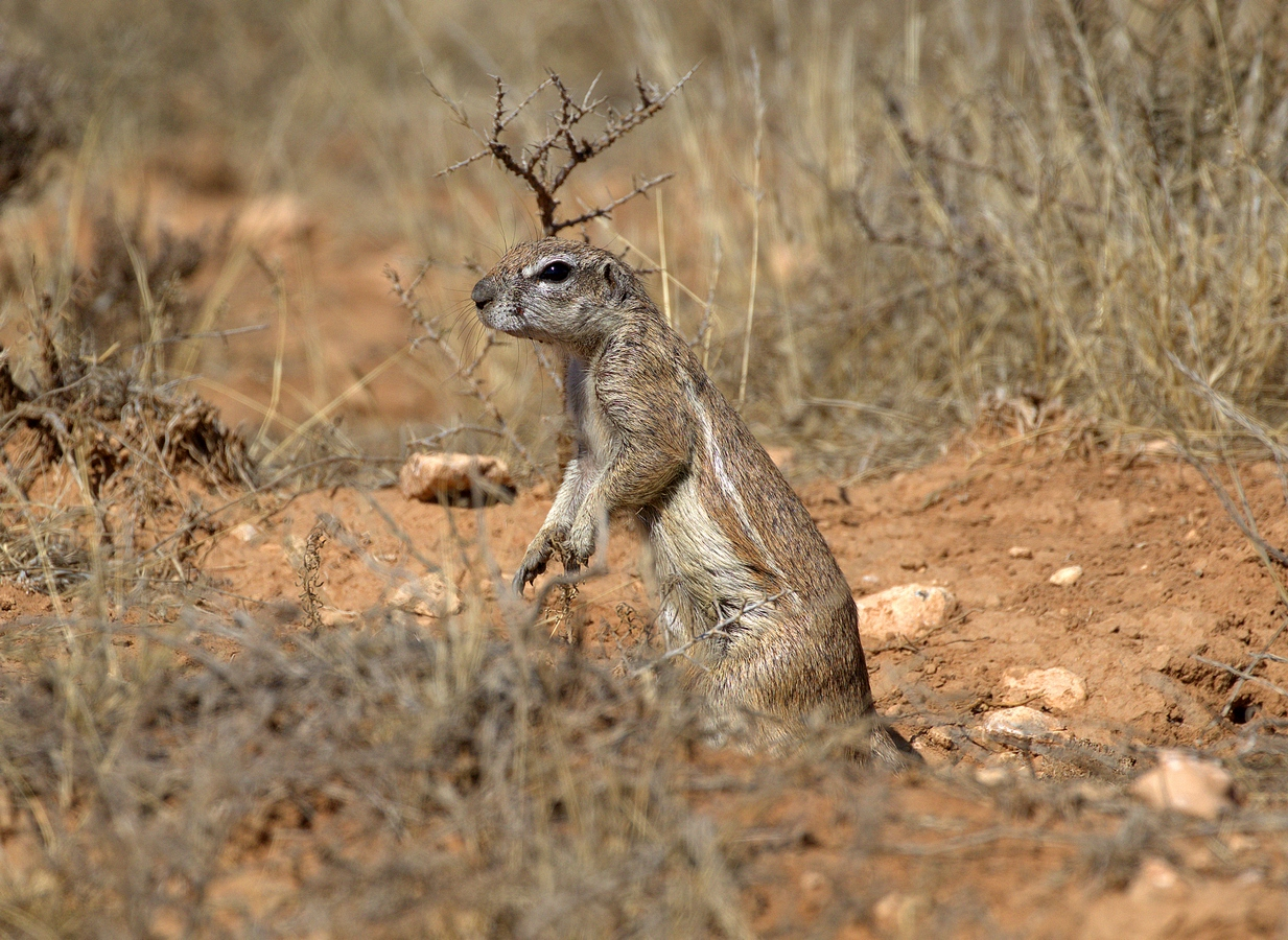 southern african ground squirrel (Copy).jpg