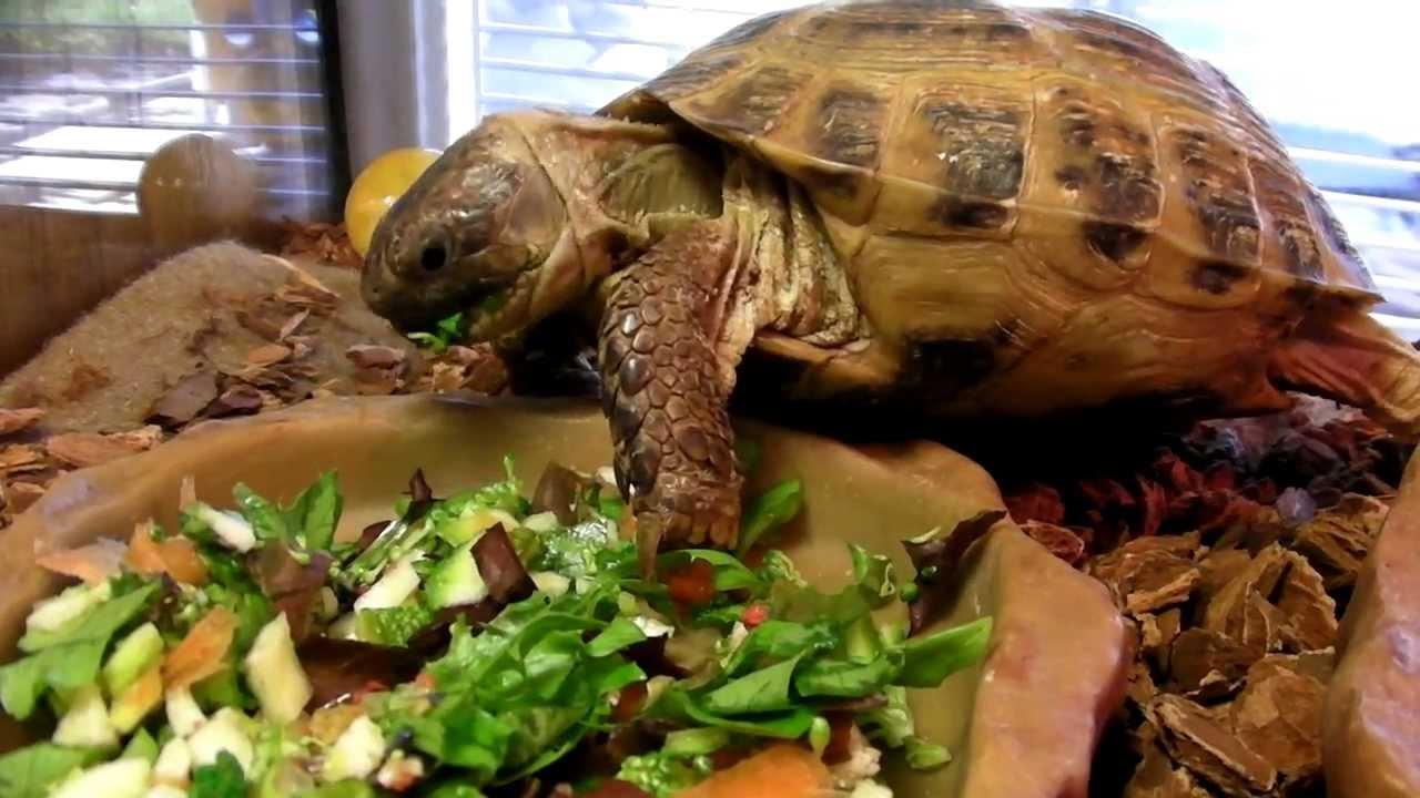 Image result for russian tortoise eating