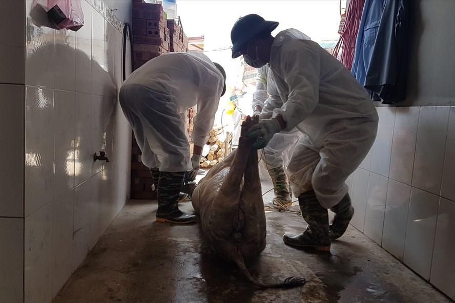 Tiêu hủy dịch tả lợn Châu Phi tại Bắc Giang. Ảnh: Khánh Vũ