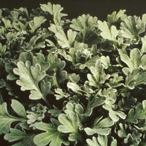 Image result for artemisia silver cascade