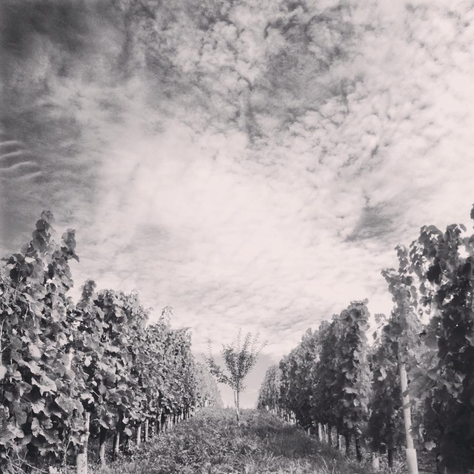 photot d'une vigne palissée (arbre fruitier planté au centre pour augmenter la biodiversité)