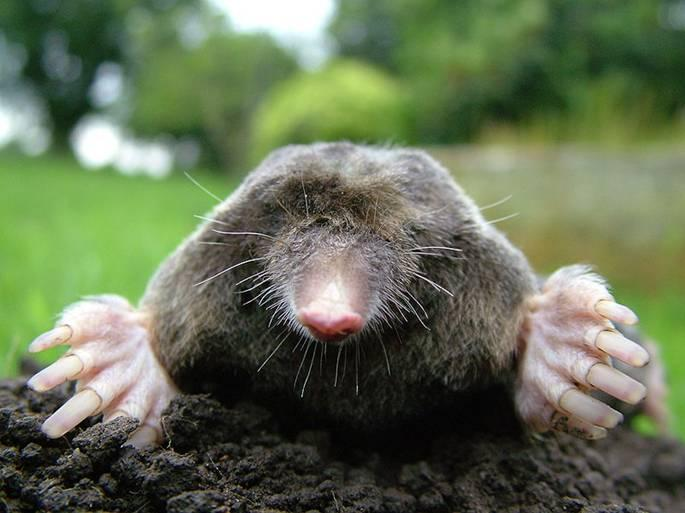 File:Close-up of mole.jpg