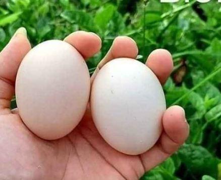 Chọn trứng gà đủ tiêu chuẩn