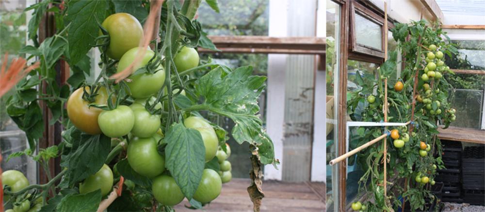 Enjoy growing tomatoes during lockdown.