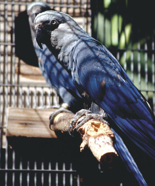 Spix macaws (Cyanopsitta spixii) are the most emblematic endangered parrot species