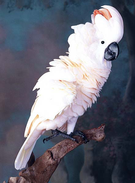 A Moluccan cockatoo displays a greeting feather erection and reaches out with the foot to be picked up