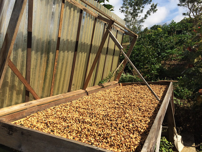 Drying the beans