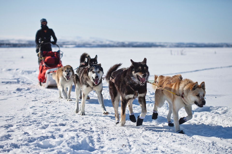 Free photo: Dogs, Sled, Team, Dogsled, Teamwork - Free Image on ...