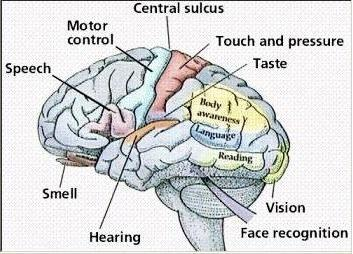 Image result for The sense of taste is found in the brain, not on the tongue