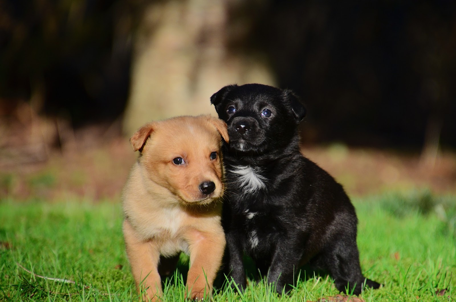 two puppies play in the grass