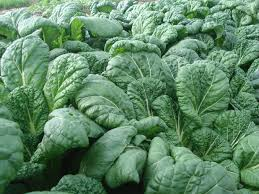 A larger and savoyed version of Tatsoi. The thick, dark green, shiny, spoon-shaped leaves grow upright on pale green petioles. This vigorous and easy to grow plant is heat and cold resistant and can be grown year round. It has a mild flavor when harvested young. LIMITED QUANTITIES
