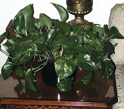 Although pothos is considered poisonous in small animals, it has never been a proven cause of systemic toxicity in healthy pet birds