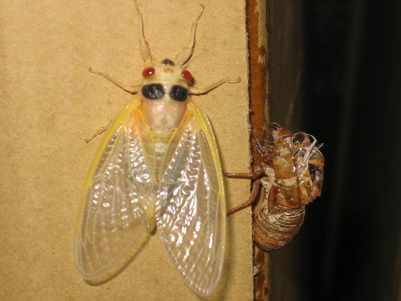 https://upload.wikimedia.org/wikipedia/commons/thumb/7/75/White_cicada.jpg/1280px-White_cicada.jpg